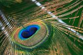 A close up of a peacock feather