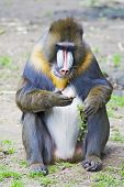 Male Mandrill, Eating