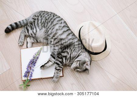 poster of Home Pet Cute Kitten Cat Lying At Home. Cute Scottish Straight Cat Indoors. Cat Portrait. Cute Cat