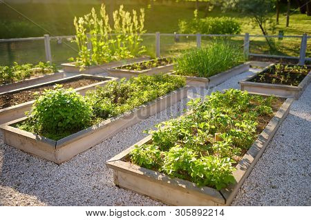 poster of Community Kitchen Garden. Raised Garden Beds With Plants In Vegetable Community Garden. Lessons Of G