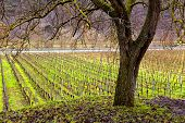 Vineyard And Tree