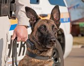 Police dog ready for work, with patrol car on the background