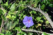 Goats Foot Creeper Flowers Or Seaside Morning Glory Flowers. (scientific Name: Ipomoea Pes-caprae) L poster