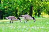 Two Canadian Geese Stinging Grass In A Green Meadow With White Flowers In A Sunny Day. poster