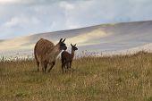 Llamas In Andean Highlands