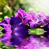 Gladiolus In The Water In The Summer