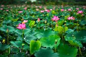 Royalty High Quality Free Photo Image Of A Pink Lotus Flower. Beauty Pink Lotus On Focus Is In Middl poster