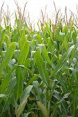 Corn Crop Future Fuel Ethanol
