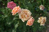 Pink And Yellow Fading Roses In The Garden Closeup poster