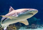 Closeup Of A Black Tip Reef Shark, Tropical Near Threatened Fish Specie Form The Indian And Pacific  poster