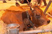 Paris - February 26: Tarentaise Cow (3) At The Paris International Agricultural Show 2012 On Februar