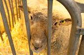 Paris - February 26: Sad Sheep At The Paris International Agricultural Show 2012 On February 26, 201