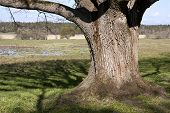 Very old, and grand oak tree in front of the wetland.