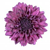 Purple Chrysanthemum Flower Isolated On White