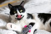 Cute Cat With Moustache Grooming And Playing With Mouse Toy On Bed. Funny Black And White Kitty Lick poster