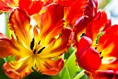 stock photo of parrots  - Parrot tulips  - JPG