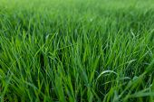 Green Fresh Natural Grass. Lawn For The Background. poster