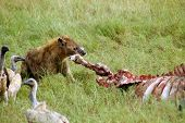 stock photo of hyenas  - A hyena tearing the leg off a buffalo carcass watched by vultures - JPG