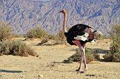 African ostrich  in Hai Bar national reserve,Eilat, Israel