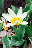 Flower White Botanical Tulip poster