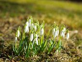 group of snowdrops