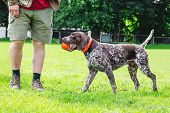 German Shorthaired Pointer Playing With The Ball. The Dog Brought The Ball To The Host poster