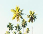 Palm trees at tropical coast. Coconut palms against the blue sky.  Toned image poster
