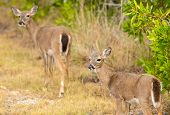 Small Key Deer In Woods Florida Keys