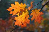 Folhas de outono laranja Carvalho