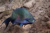 Dusky Parrotfish Is Underwate