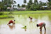 Farmers harvesting rice in the south Laos