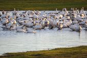 stock photo of snow goose  - Snow geese gather in a shallow pond to rest and feed - JPG
