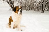 Saint Bernard In The Snow