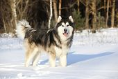 image of malamute  - Alaskan Malamute in the snow - JPG