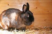Dark Brown Dwarf Rabbit
