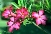 Flower Pink Adenium. Desert Rose