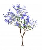 Beautiful Blooming Jacaranda Tree