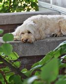 image of cockapoo  - Cockapoo dog lays on back porch on spring day - JPG
