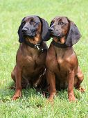 picture of scenthound  - The funny portrait of two Bavarian Mountain Scenthound - JPG
