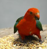 stock photo of king parrot  - australian male king parrot keeps watch as he feeds on seed - JPG