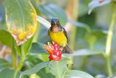 Brown-throated Sunbird Anthreptes malacensis
