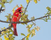 Male Northern Cardinal  in a tree in early spring