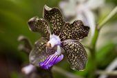 Vanda Mimi Palmer Orchid Extreme Close Up