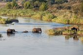 Baby Elephant Carefully Crossing River