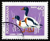 Postage Stamp Romania 1968 Common Shelduck, Waterfowl Bird