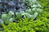 Vegetable Garden With Cabbage And Celery