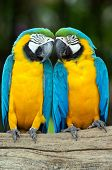foto of love bite  - Pair of colorful Macaws parrots - JPG