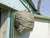stock photo of wasp sting  - Wasp beehive that being built in the house - JPG