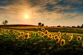 stock photo of farm landscape  - A view of a sunflower field in Kansas - JPG
