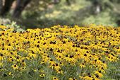foto of black-eyed susans  - Field of Black Eyed Susan Daisy Flowers in Bloom at Parks Garden - JPG